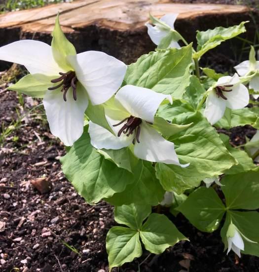 Trillium simile white maroon anthers