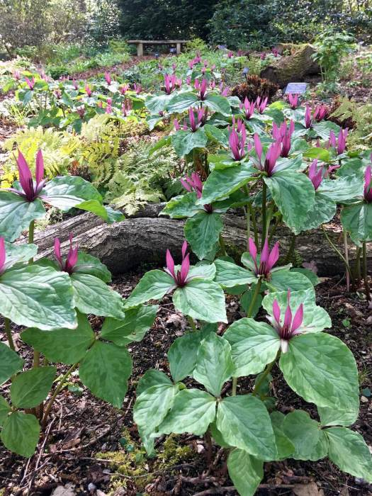 Many trilliums in bloom in a woodland garden