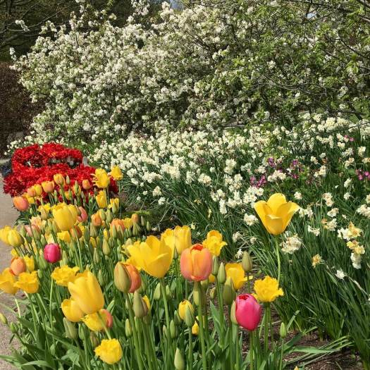 Bright tulips with white daffodils and blossom