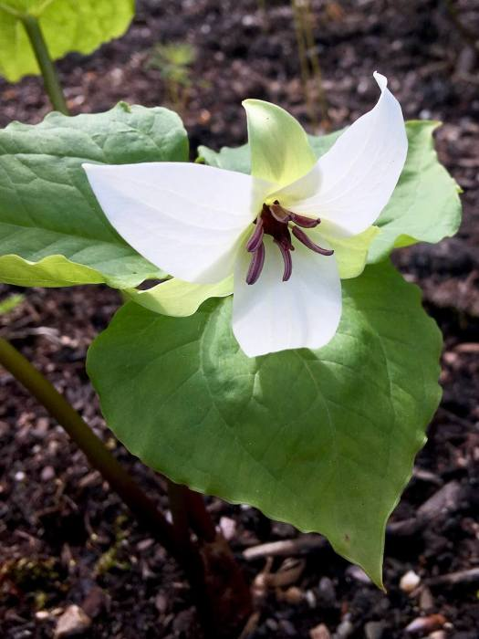 white trillium, backlit, with maroon anthers