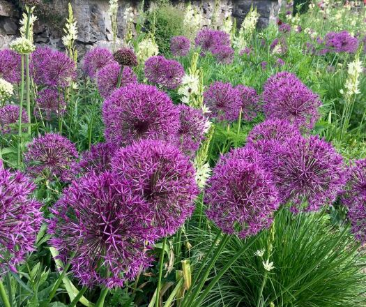 Purple alliums and white camassia
