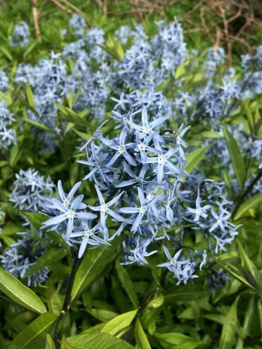 Amsonia (Bluestar)