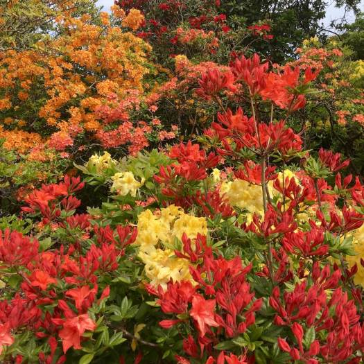 Red, orange and yellow azaleas