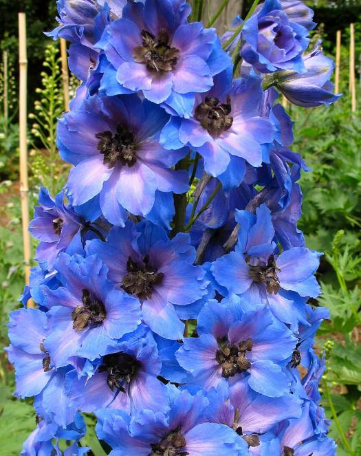 Blue delphinium with lavender eye and dark bee