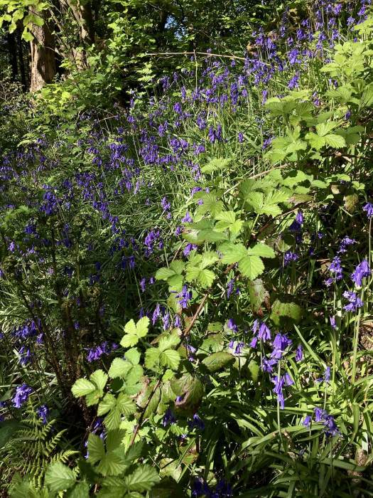 English bluebells with brambles and ferns