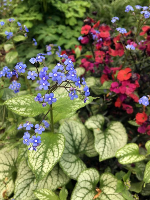 Brunnera with wallflowers