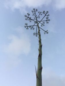 Century plant flower scape