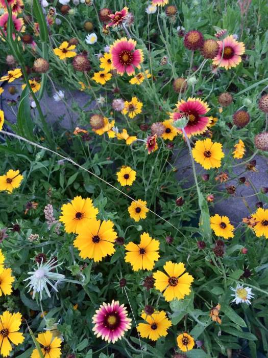 Wildflowers including coreopsis and galliarda