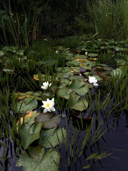 Darkly lit pond with waterlilies and spiky foliage