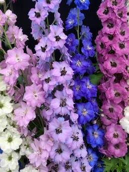 Mauve and blue delphiniums
