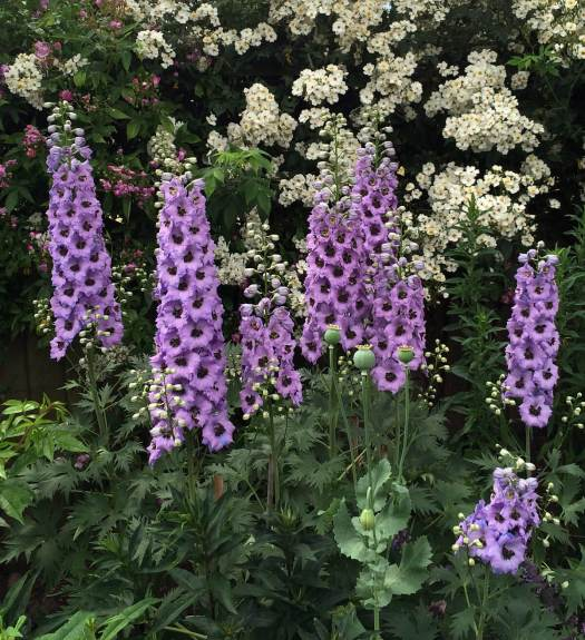 Lilac delphiniums and white rambling roses