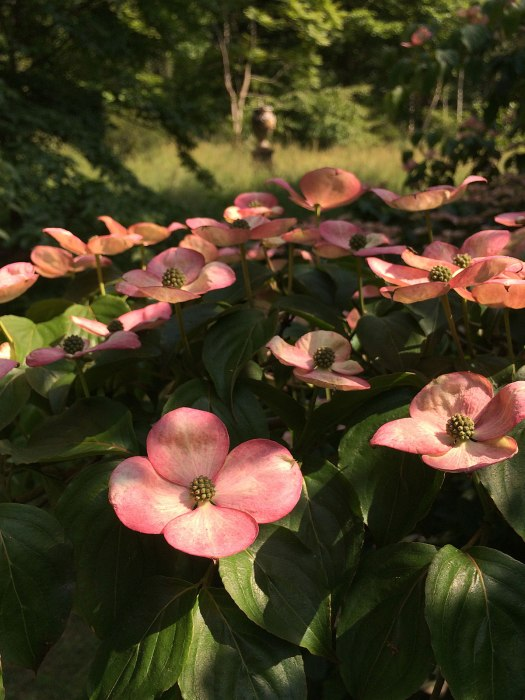 Dogwood flowering in a leafy glade