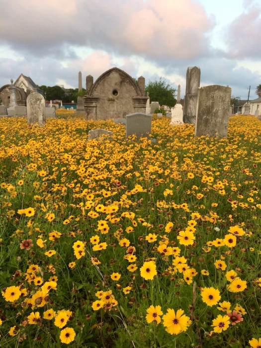 Wildflowers in Galveston graveyard