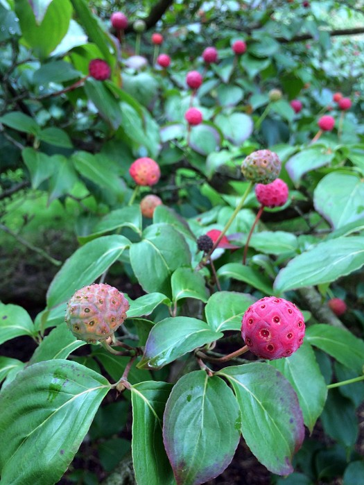 Kousa dogwood fruits are bright pink