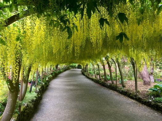 Yellow Laburnum flowers arch over a curved walkway
