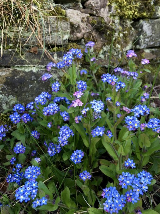 Myosotis (forget-me-not) with a few pink flowers