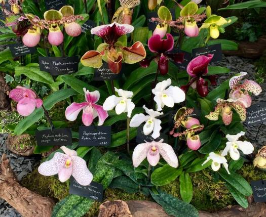 Collection of Paphiopedilum orchids at a flower show
