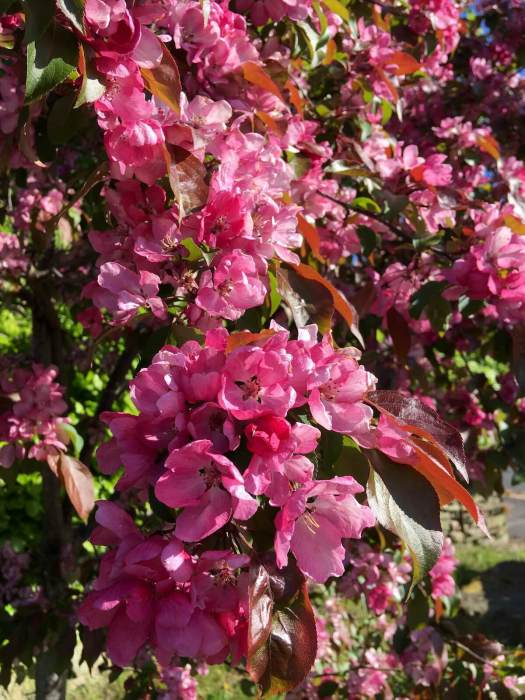 Ornamental crab apple tree