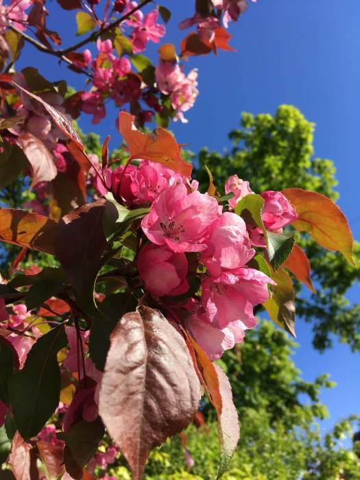 Pink crab apple blossom against a blue sky