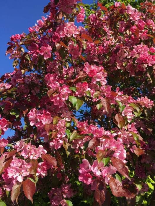 Pink Malus (crab apple) in full bloom