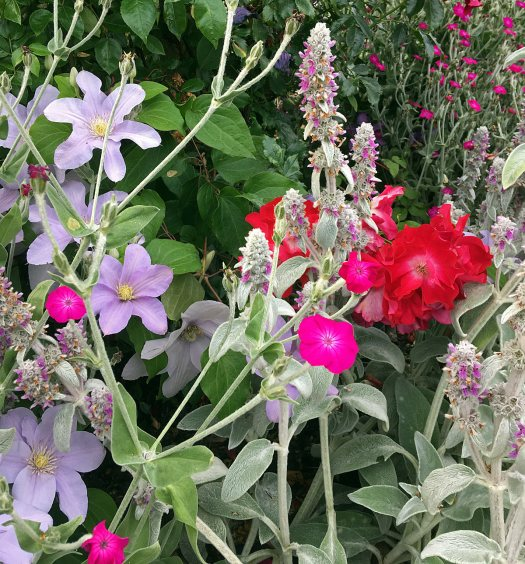 Plant companions: roses, clematis, stachys byzantina and lychnis coronaria