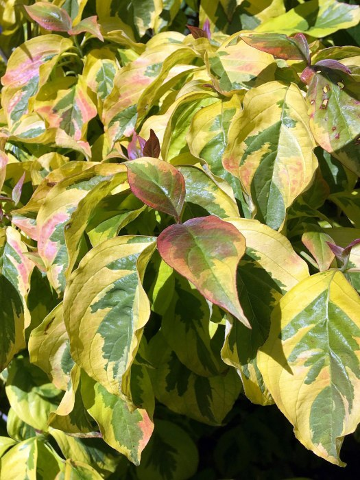 Dogwood with yellow and green leaves