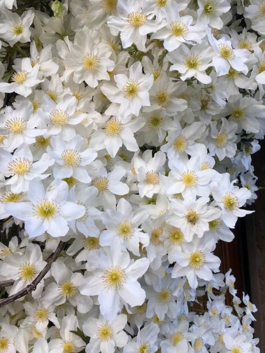 Silky white clematis flowers with yellow stamens