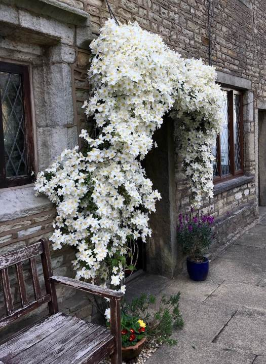 Clematis smothered with white flowers