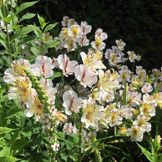 Creamy white Alstroemeria with Verbascum