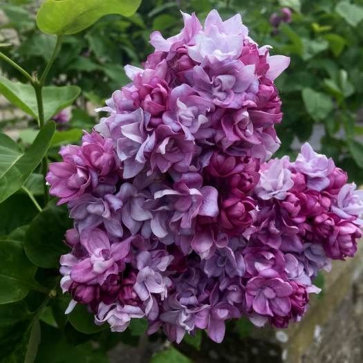 Double lilac flowers