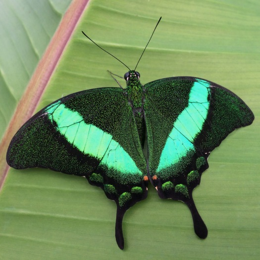 Emerald green swallowtail butterfly with florescent stripe