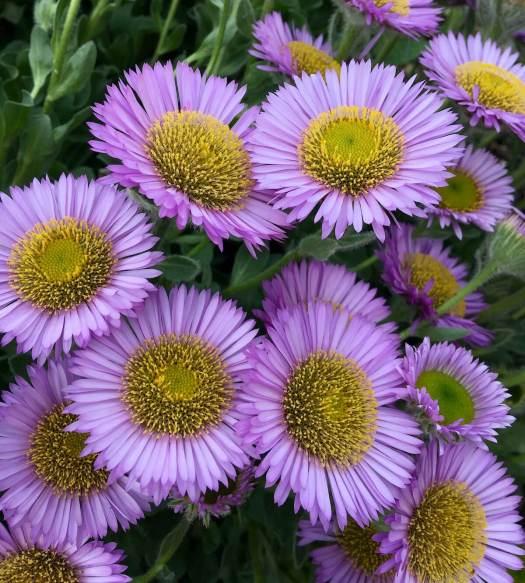 Erigeron glaucus - lavender daisies
