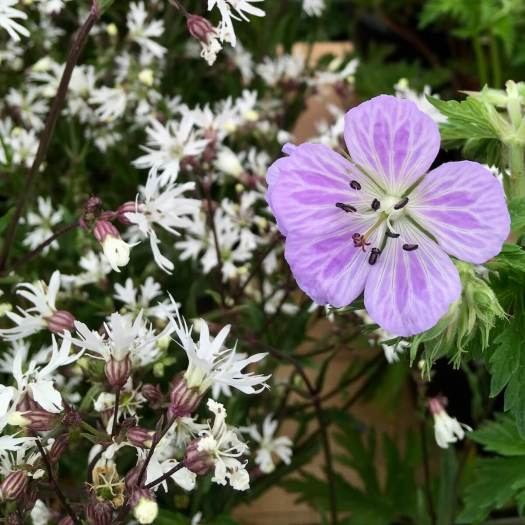 Hardy geranium with Lychnis flos-cuculi 'White Robin'