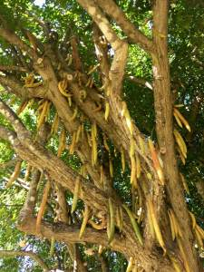 Parmentiera cereifera tree with candle fruit
