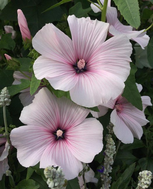 Pink rose mallow with salvia