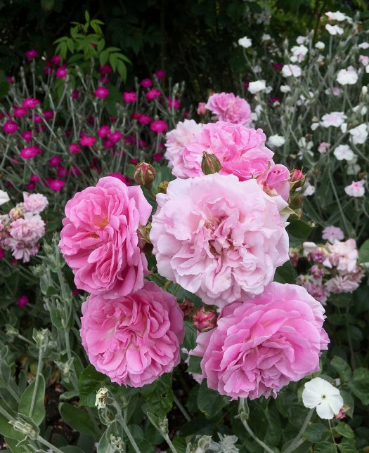 Pink roses with lychnis coronaria