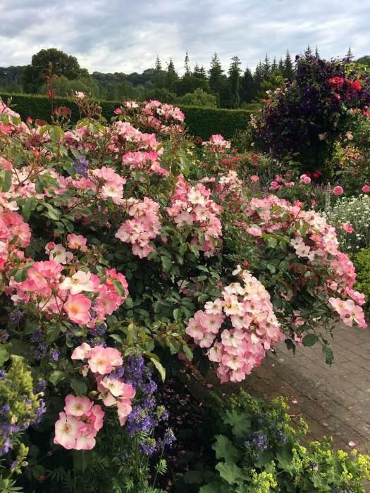 Shrub rose in a garden