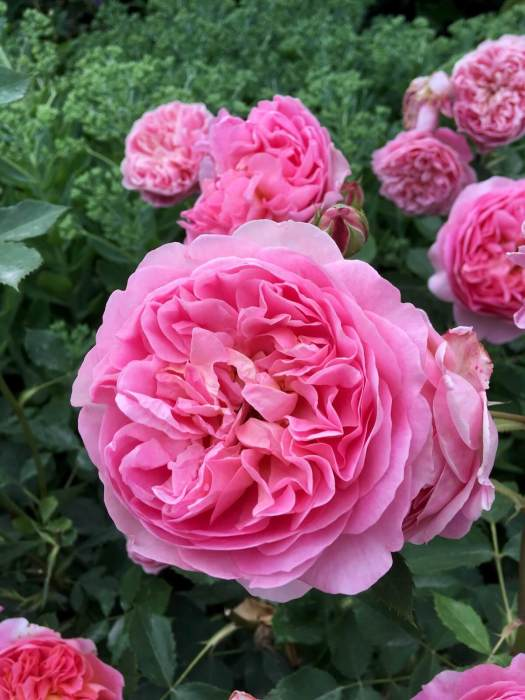 Rosa 'Boscobel' pink English rose with many petals
