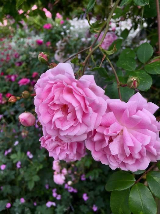 Pink rambling rose (Rosa 'Debutante')