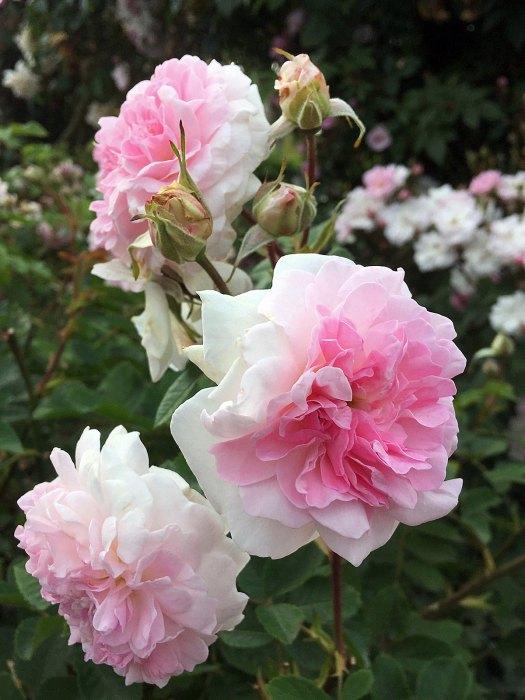 Rosa 'Rosemoor'