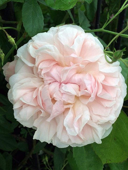 Rosa 'St Swithun' has pale pink rosette shaped flowers