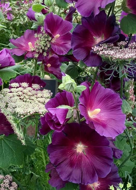 Purple hollyhocks - Alcea 'Halo Lavender'