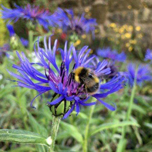 Bee on Centaurea montana