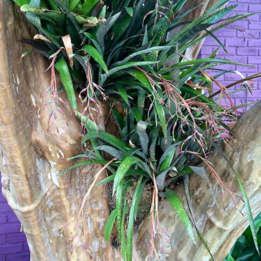 Billbergia nutans in a Crape Myrtle tree