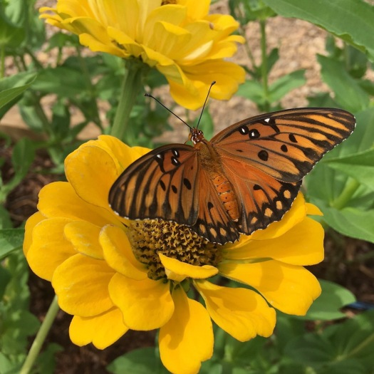 Golden butterfly on yellow zinnia
