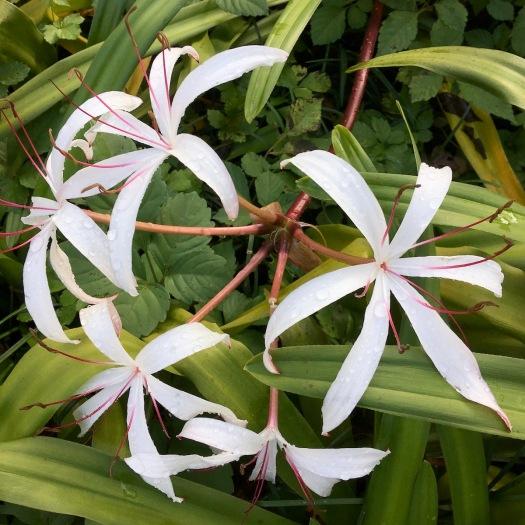 Crinum americanum (swamp lily)