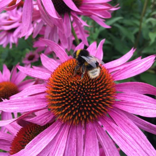 Bee on echinacea
