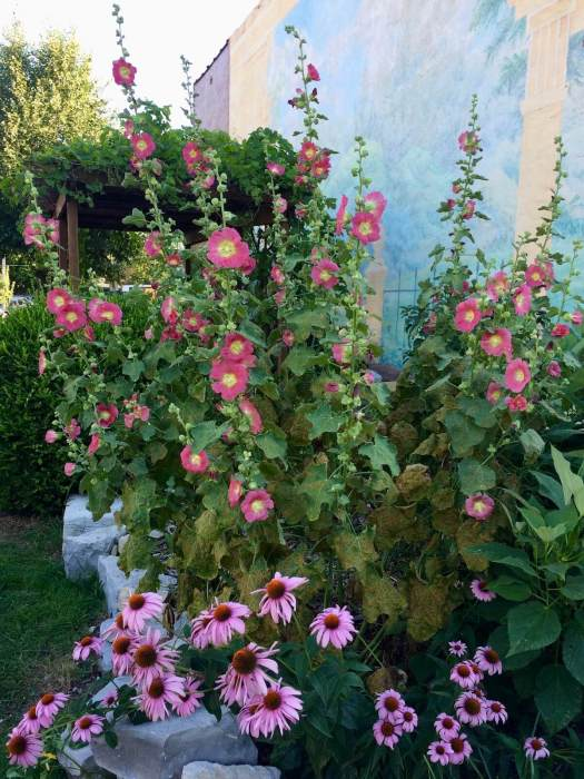 Hollyhocks with echinacea in a community garden