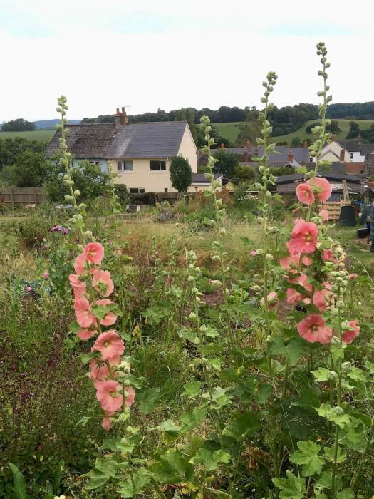 Apricot hollyhocks on an allotment