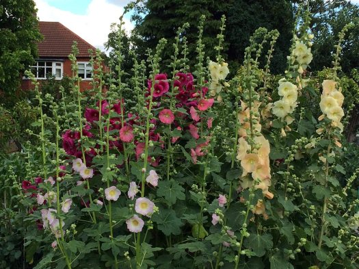Mixed colours of hollyhocks